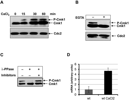 Increase of Cmk1 expression and phosphorylation due to Ca2+. (A) Time course of cells harbouring endogenous cmk1:HA gene exposed to 100 mM CaCl2. Cmk1 protein level was analysed at the times indicated by Western blot using anti-HA antibodies (top) and Cdc2 was probed as a loading control with anti-PSTAIR antibodies (A and B, bottom). (B) cmk1:HA cells exposed to 100 mM CaCl2 for 30 min were treated (+) or untreated (-) with EGTA before analysing the Cmk1 protein by Western blot using anti-HA antibodies (top). (C) Cell extracts of cells expressing Cmk1-HA in the presence of 100 mM CaCl2 were treated before electrophoresis with λ-protein phosphatase and with phosphatase inhibitors when indicated. Cmk1 was analysed by Western blot using anti-HA antibodies. (D) Cmk1 gene expression. The mRNA of cells treated (wt CaCl2) or untreated (wt) with 100 mM CaCl2 was extracted and the cmk1 mRNA level was analysed by RT-PCR using the oligonucleotides Cmk1 RT Fw and Rv.