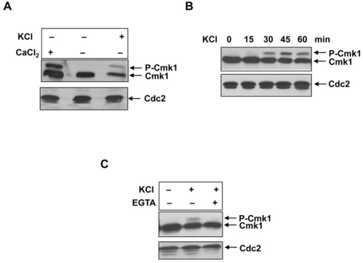 Phosphorylation of Cmk1 in response to osmotic stress. (A) cmk1:HA strain was treated with 100 mM CaCl2 or 1M KCl when indicated and Cmk1 phosphorylation was detected by Western blot with anti-HA antibodies (top). (B) Time course of cells harbouring endogenous cmk1:HA gene exposed to 1M KCl. Cmk1 protein level was analysed at times indicated as in A (top). (C) The same strain cmk1:HA was treated with 1M KCl and 20 mM EGTA when indicated and Cmk1 was detected as in A (top). Anti-PSTAIR antibodies were used to probe Cdc2 as a loading control (bottom).