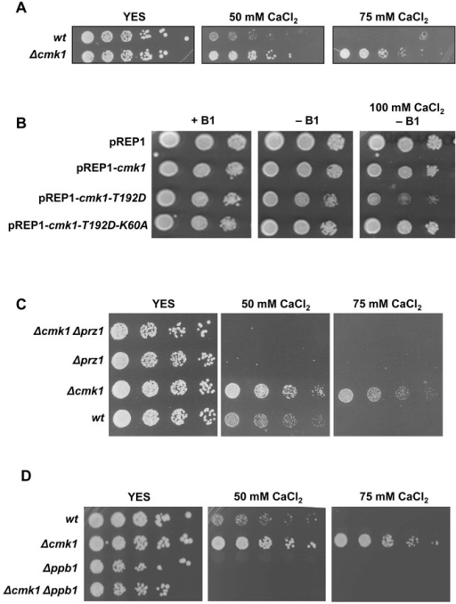 Suppression of Ca2+ resistance of cmk1 deleted cells by elimination of calcineurin pathway. (A) Ca2+ sensitivity. Wild-type and Δcmk1 cells were grown in YES medium and spotted on YES plates containing different concentrations of CaCl2 and incubated for 3 days at 30°C. (B) Δcmk1 cells containing the multicopy plasmid pREP1, empty (pREP1) or carrying different versions of cmk1 gene (pREP1-cmk1, pREP1-cmk1-T192D and pREP1-cmk1-T192D-K60A) were spotted onto EMM plates with thiamine (+B1), without thiamine (-B1) and without thiamine plus CaCl2 (-B1+ 100mM CaCl2) and were incubated for 4 day at 30°C. (C) and (D) The indicated strains were grown in YES medium and spotted on YES plates containing different concentrations of CaCl2 and incubated for 3 days at 30°C. Lower CaCl2 concentrations of figures C and D are shown in Supplementary Figure S1.