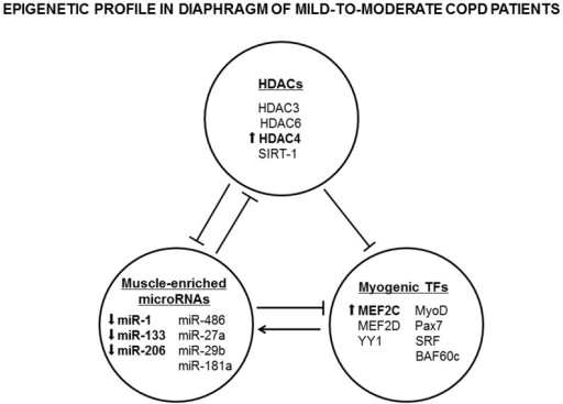 Epigenetic profile in the diaphragm of mild-to-moderate COPD patients.The main results encountered in the study are briefly depicted in the figure. Arrows express significant differences in COPD patients compared to controls. Main findings were that HDAC4 and MEF2C protein levels were increased, whereas miR-1, miR-133, and miR-206 expression levels were downregulated in diaphragms of COPD patients compared to controls. Abbreviations: COPD, chronic obstructive pulmonary disease; HDACs, histone deacetylases; silent mating type information regulation 2 homolog (SIRT)-1, silent information regulator 1; miR, microRNA; TFs, transcription factors; MEF, myocyte-enhancer factor; YY1, yin yang 1; SRF, serum response factor; and BAF, BRG1-associated factors.