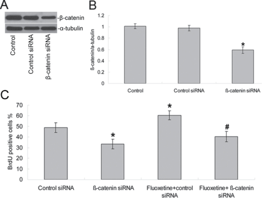 Inhibition of β-catenin expression decreased NPC proliferation and reduced the proliferative effects induced by fluoxetine. NPCs were transfected with β-catenin siRNA or a fluorescein-conjugated control siRNA. (A) β-catenin protein expression was detected by Western blotting and indicated a decrease expression (B). Values represent means ± SD (n = 5). *p < 0.01 versus control siRNA group. (C) 48h after transfection, some of the cells (as noted) were treated with 1 μM fluoxetine for an additional 48h before their cell proliferation was measured by BrdU labeling. Analyses of variance revealed main effects for β-catenin siRNA and fluoxetine treatment on NPC proliferation [F (1, 18) = 75.13, p < 0.0001 for β-catenin siRNA; F (1, 18) = 20.74, p < 0.0001 for fluoxetine]. Values represent means ± SD (n = 5). *p < 0.01 versus control siRNA group; #p < 0.001 versus fluoxetine + control siRNA group. BrdU, 2 d, 5'-bromo-2-deoxy-uridine; NPCs, neural precursor cells; SD, standard deviation; siRNA,.