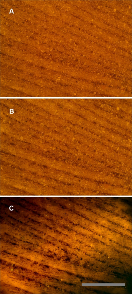 Feather under reflected and matrix fluoresced illumination.Green River Formation feather using identical images under different lighting conditions. A, Reflected light microscopy, only barbs are visible. B, Polarized light, some traces of barbules. C, Laser-stimulated fluorescence of matrix behind the carbon film backlights the feather and renders barbules visible across the entire field of view. Scale bar 0.5 mm.