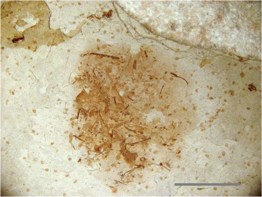 Unidentified Liaoning fossil specimen.An unidentifiable specimen from a Liaoning rock slab containing a Microraptor specimen (LVH 0026). No diagnostic bones are visible on the specimen surface, but laser penetration into the matrix induced fluorescence in multiple teeth and scales, making the identification of a fish possible. Scale bar 1 cm.