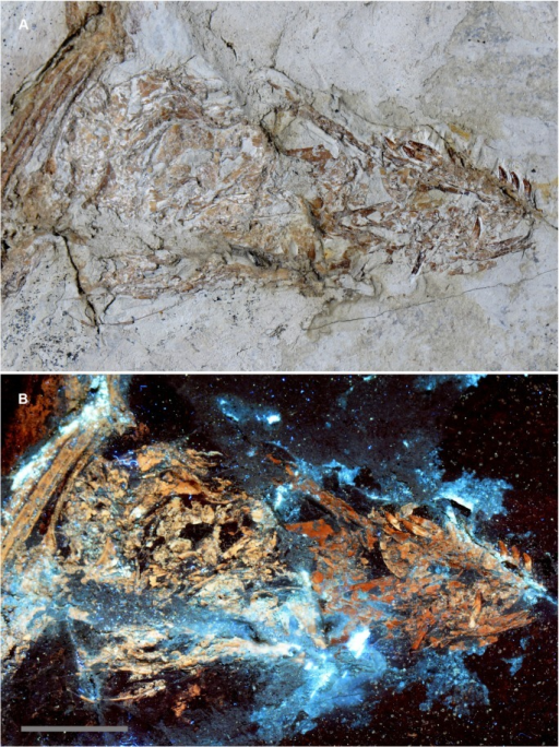 Is the skull of Microraptor IVPP V13320 a composite?A, the skull of IVPP V13320 under white light conditions shows subtle color differences in the bone across a break in the slab—darker bone proximally and lighter bone distally. B, Under laser light stimulation, the bone fluoresces with the same color pattern observed under white light conditions (see A) indicating that the color differences relate to differences in fossil mineralogy. The latter indicates that the skull is a composite specimen, but it is also possible—but less likely—that the pattern observed reflects variable depositional and taphonomic conditions. Scale bar 1 cm. S2 Fig is a labelled version of this figure (see Supporting Information).