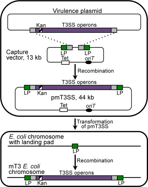 Generation of mT3 Escherichia coli, the protein delivery strain. Akanamycin-resistance cassette (striped box) was inserted into a nonessential region of the Shigella flexneri virulence plasmid to assist inselection of proper recombination events with the capture vector.A capture vector was constructed that contains regions of homologyto the regions of the Shigella virulence plasmidflanking the type 3 secretion genes, which are represented as grayboxes. Landing pad (LP) sequence, denoted as a green box, flanks thepieces of T3SS gene homology to facilitate downstream integrationinto the E. coli chromosome. An originof transfer (oriT), which can mobilize the plasmidbetween bacterial host strains by conjugation, is represented by ablack oval. λ-Red recombination was then used to introduce theregion of the Shigella virulence plasmid that containsthe T3SS genes onto the capture vector. The resulting 44 kb plasmid(pmT3SS) contains the entire T3SS. When pmT3SS is introduced intoa strain of E. coli harboring an engineeredlanding pad sequence, recombination leads to integration of the interveningsequence, in this case the T3SS operons, into the chromosome, generatingthe strain mT3 E. coli.