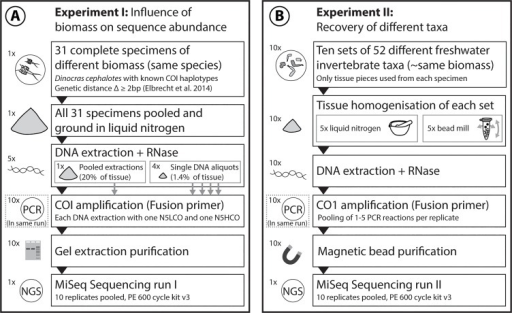 "Overview of the experimental setup of Experiment I and II.Two MiSeq runs were used to increase the reproducibility and reliability of our novel metabarcoding protocol. A Experiment I: Dinocras cephalotes specimens with different COI barcodes were used to determine the reproducibility of the protocol and the influence of biomass on sequence abundance. B Experiment II: Ten sets of 52 aquatic taxa were homogenised, and DNA was extracted and amplified to determine which taxa could be recovered with MiSeq using the ""ready to load"" primers developed in this study."