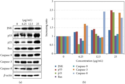 Haliclona sp. extract induces the expression of proteins related to the JNK and extrinsic apoptotic pathway. A549 cells were treated with Haliclona sp. extract for 48 h. (a) Protein levels were determined using Western blotting. (b) Protein bands were analyzed by ImageJ software. The data were calculated by the ratio of each to β-actin bands (as corresponding bands).