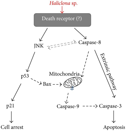 Molecular mechanism of anticancer action induced by Haliclona sp. extract.