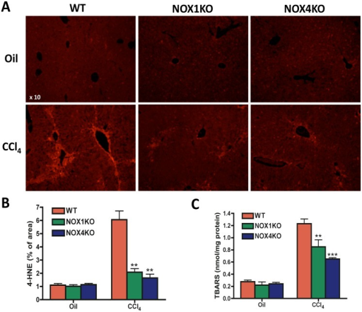Lipid peroxidation was attenuated in NOX1KO and NOX4KO mice compared with WT mice after CCl4 injury.Livers were obtained from WT, NOX1KO, and NOX4KO mice by 12 intragastric administrations with CCl4 for 6 weeks, twice a week. (A) Representative images of 4-hydroxynonenal (4-HNE) immunoflurescent staining and its quantification (B). Original magnification X10. (C) Hepatic malondialdehyde levels were measured using thiobarbituric acid reactive substances (TBARS) assay. *P <0.05, **P < 0.01.
