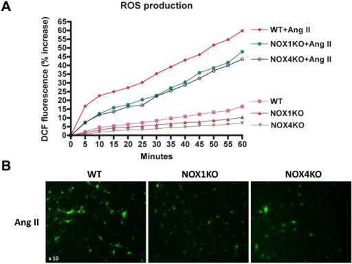 ROS production was attenuated by NOX1/4 inhibition in HSCs in response to Ang II stimulation.(A) HSCs from WT, NOX1KO and NOX4KO mice were loaded with H2DCFDA (10 μM) for 20 min. Cells were then washed and subsequently induced with Ang II (10-6 M). ROS production was assessed by fluorescent signals quantified continuously for 60 min using a fluorometer. (B) Representative images of ROS production in HSCs. Original magnification X10.