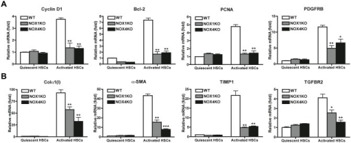 Both NOX1 and NOX4 mediate proliferative and fibrogenic responses in HSCs.HSCs from WT, NOX1KO and NOX4KO mice were cultured for 1 day (quiescent HSCs) and 5 days (activated HSCs) with 10% FBS in DMEM. mRNA expression of proliferative genes (A) and fibrogenic genes (B) were measured by quantitative real-time PCR. HPRT was used as an internal control. *P <0.05, **P < 0.01, ***P < 0.001 vs activated WT HSCs control.