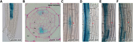 CLE expression visualized through pCLE::GUS lines. (A, B) pCLE26::GUS in the primary root tip: (A) whole mount; (B) transverse section in the basal meristem. (C–F) pCLE::GUS during early stages of A. thaliana lateral root development: (C) pCLE27::GUS; (D) pCLE1::GUS; (E) pCLE4::GUS; (F) pCLE7::GUS. A red asterisk indicates the position of the lateral root primordium. Seedling age, 5–7 d after germination.