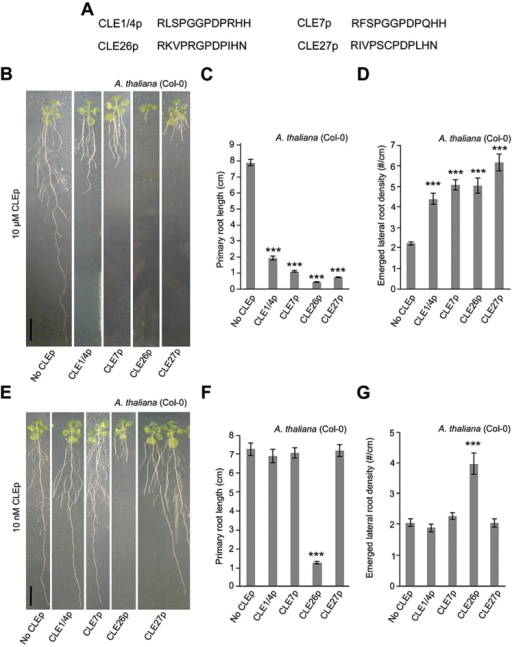 CLE peptide treatment of A. thaliana. (A) Sequence of synthetic CLE peptides used. (B–G) Treatment of wild-type seedlings with 10 μM (B, C) or 10nM CLE peptide (E–G). Representative pictures of CLE26p-treated wild-type seedlings at 12 d after germination (B and E). Quantification of primary root length (C and F) and emerged lateral root density (D and G) for CLE26p-treated wild-type seedlings. The bar graphs indicate the mean ±SE. Statistical significance (Student's t-test) compared with the no peptide treatment is indicated: ***P<0.01. Scale bar=1cm. (This figure is available in colour at JXB online.)