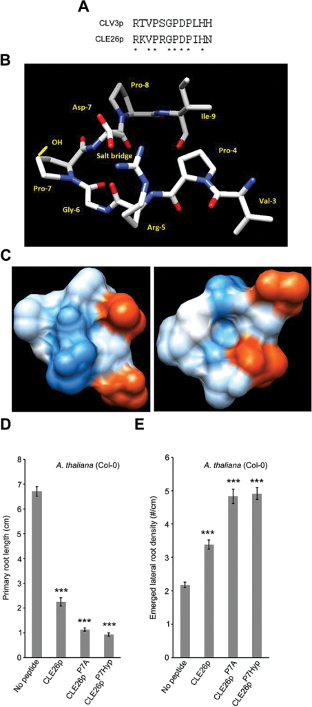 Sequence and structure versus activity of CLE26p. (A) Conserved residues between CLE26p and CLV3p are denoted by asterisks. (B) The top-ranked predicted structure with amino acids of the cleaved CLE26 peptide named, the position of a potentially stabilizing salt bridge marked, and the hydroxyl group of Pro-7-Hyp (in the 2S, 4S conformation reported from other studies) depicted in yellow. (C) The solvent-accessible surface (left) and solvent-accessible surface of the opposite face of the peptide in (B) (right) coloured in shades of red or blue to indicate the level of acidity or alkalinity, respectively. (D, E) Quantification of primary root length (D) and emerged lateral root density (E) for CLE26p, CLE27pP7A (~mCLE26p A7), and CLE26p7Hyp-treated wild-type seedlings. The graph indicates the mean ±SE. Statistical significance (Student's t-test) compared with no peptide treatment is indicated: ***P<0.01.