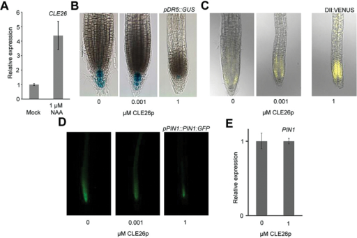 CLE26 and auxin response/transport. (A) CLE26 expression level as determined by qPCR in auxin-treated (6h) 5-day-old wild-type seedlings. (B–D) CLE26p-treated pDR5::GUS (B), 35S::DII:VENUS (C), and pPIN1::PIN1:GFP 5-day-old seedlings continuously grown on CLE26p (D). (E) PIN1 expression level in 7-day-old seedling roots treated with CLE26p for 24h. The bar graph indicates the mean ±SE.