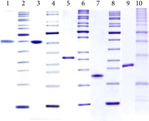 Quality control SDS-PAGE analysis (reduced) of the highly purified recombinant antigens (1 μg per lane). Lane 1: PstS3, Lane 3: AlaDH, Lane 5: MPT83, Lane 7: 19 kDa, Lane 9: NarL, Lanes 2, 4, 6, 8, and 10: molecular weight ladders (each corresponding to the antigen on the left side), Lanes 1–4: 15% Laemmli gels, and Lanes 5–10: 12% Laemmli gels. All stained with Coomassie brilliant blue R250.