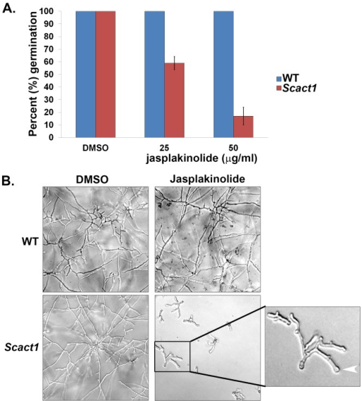 The Scact1 strain is sensitive to the F-actin stabilizing agent, jasplakinolide.(A) Jasplakinolide treatment inhibits Scact1 germination in a dose dependent manner. Conidia from the WT and Scact1 strains were cultured in the presence of increasing doses of jasplakinolide and scored for germ tube formation after 12 hrs incubation at 37°C. Data are presented as the average of three experiments ± standard deviation. (B) Jasplakinolide inhibits growth and morphogenesis of the Scact1 but not WT strain. Conidia were inoculated into a multi-well plate containing liquid GMM and ascending concentrations of jasplakinolide and incubated for 24 hrs at 37°C. Effects on WT and Scact1 growth at 50 μg/ml jasplakinolide are shown. Jasplakinolide treatment was associated with decreased growth, increased branching and swollen hyphal tips (white arrowhead, enlarged panel to right).
