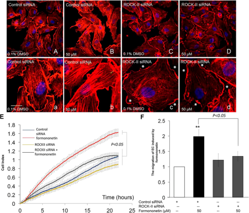 Inhibition of ROCK-II expression by ROCK-II siRNA abolished formononetin-induced stress fiber formation and cell migration in HUVECs.HUVECs transfected with non-specific siRNA were treated with (A,a) 0.1% DMSO or (B,b) 50 μM formononetin for 8 h to serve as negative and positive control, respectively. Cell nuclei were labeled with Hochest 33342 and F-actin was labeled with TRITC-phalloidin. Yellow arrowhead indicated stress fibers terminated at pointed edges. ROCK-II expression was inhibited in HUVECs by using ROCK-II siRNA and the cells were treated with (C,c) 0.1% DMSO or (D,d) 50 μM formononetin for 8 h. White asterisk indicated cortical actin complexes formed in HUVECs transfected with ROCK-II siRNA. White and yellow scale bars represent 50 μm and 20 μm respectively. (E) Real-time cell migration of HUVECs transfected with ROCK-II siRNA with or without formononetin treatments as detected by the xCELLigence system. HUVECs were transfected with ROCK-II siRNA for 2 days, followed by 0.1% DMSO or 50 μM formononetin for 24 h. (F) Statistical analysis of cell migration index of xCELLigence system following formononetin treatment for 20 h. Values are presented as the increment of migration ± SD (n = 3), for three independent experiments. **p < 0.01 vs. control.