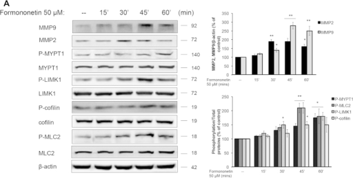 Formononetin induced the activation of ROCK and MMP2/9 signaling pathways in HUVECs.HUVECs were treated with 50 μM formononetin for 15, 30, 45, 60 min. Cells were subsequently harvested and extracted for western blot analysis. (A) The protein expression of the ROCK signal pathway and MMP2/9 were determined by western blotting. β-actin was used as a loading control. (B,C) Results are expressed as a percentage of controls (mean ± SD; n = 3), *p < 0.05, **p < 0.01 vs. control.