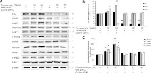 Formononetin induced the activations of ROCK and MMP2/9 pathways via ERα.(A) HUVECs were transfected with either non-specific siRNA as control of specific ERα siRNA for 2 days followed by 50 μM formononetin treatment for 30 or 60 min. The protein levels of ERα, MMP2, MMP9, P-MYPT1, P-LIMK1, P-cofilin and P-MLC2 were analyzed by using Western blotting. (B) Statistical analysis of the protein levels of MMP2 and MMP9 in HUVECs transfected with ERα siRNA in the presence of 50 μM formononetin. (C) Statistical analysis of the protein levels of P-MYPT1, P-LIMK1, P-cofilin and P-MLC2 in HUVECs transfected with ERα siRNA in the presence of 50 μM formononetin. Results are expressed as percentages of controls (mean ± SD; n = 3), *p < 0.05, **p < 0.01 vs. control.