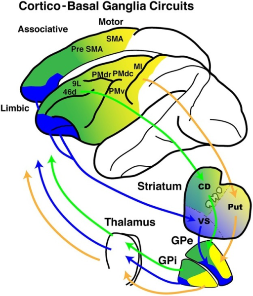 Schematic diagrams of cortico- basal ganglia (BG) anatomical loops with functional territories. The motor (yellow), associative (green) and limbic (blue) territories are represented in circuits between the frontal cortical areas and the BG.
