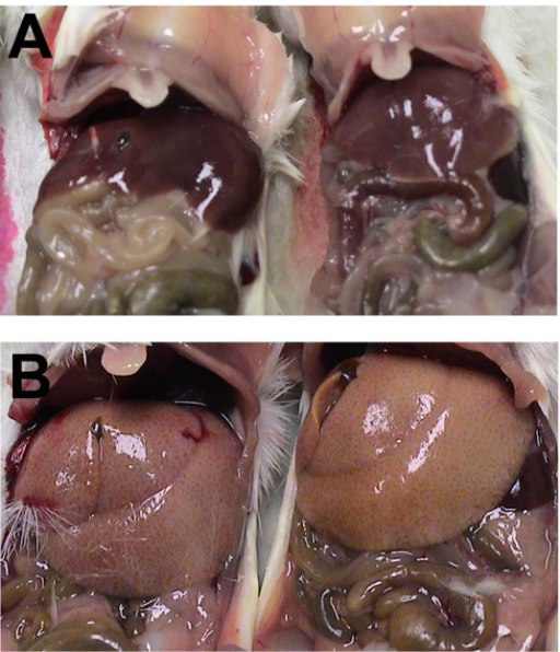 Gross liver abnormalities upon necropsy of scid mice infected with 'scid-adapted' MARV. (A) Livers of uninfected scid mice appear normal at the time of necropsy. (B) The livers from MARV-Ci67-infected scid mice were diffusely enlarged with rounded edges filling up to one-third of the abdominal cavity and mildly displacing abdominal organs. Additionally, the livers had become distinctively pale with an accentuated reticulated pattern.
