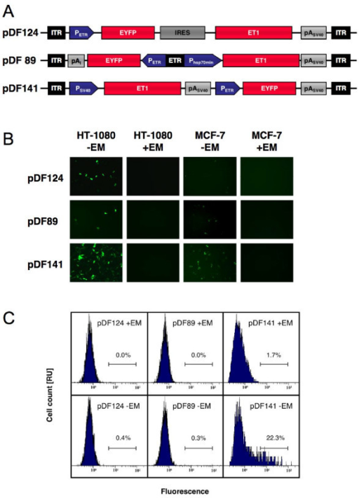 Self- and auto-regulated AAV type 2-based expression of fluorescent proteins. (A) Schematic representation of an auto-regulated (pDF124), a bidirectional (pDF89) and a self-regulated (pDF141) AAV type 2-based expression unit. (B) Fluorescence micrographs of human fibrosarcoma cells (HT-1080) and a human breast cancer cell line (MCF-7) transduced with pDF124-, pDF89- and pDF141-derived AAV particles (2000 genomic particles/cell) cultivated in the presence (+) and absence (-) of EM. (C) FACS-mediated quantification of EYFP in HT-1080 transduced with equal amounts of viral particles (2000 genomic particles/cell) and cultivated in the presence (+EM) and absence (-EM) of erythromycin. Abbreviations: EM, erythromycin; ET1, erythromycin-dependent transactivator; ETR, ET1-specific operator; EYFP, enhanced yellow fluorescent protein; IRES, internal ribosome entry site; ITR, inverted terminal repeat; pAI, synthetic polyadenylation signal; pASV40, simian virus 40 polyadenylation signal; PETR, erythromycin-responsive promoter; PHSP70min, minimal version of the Drosophila melanogaster heat-shock protein 70 promoter; PSV40, simian virus 40 promoter.