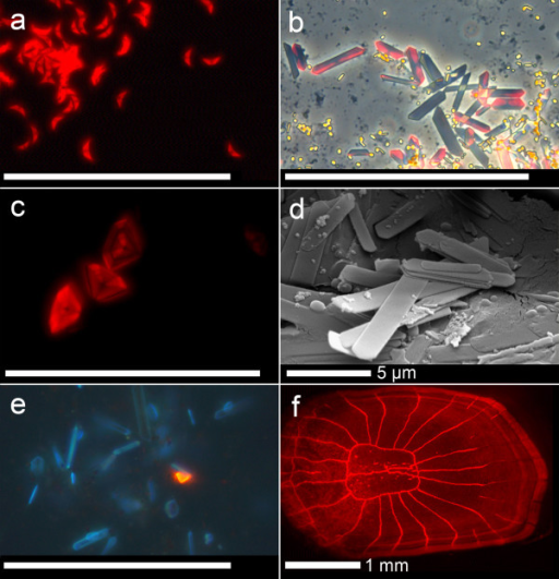Sources of red fluorescence in fishes. a. Guanine crystals from the eye ring of Eviota pellucida (fluorescence microscopy). b. Same from Ctenogobiops tangaroai (fluorescence overlaid with phase contrast). c. As in b, diamond form (fluorescence microscopy). d. Guanine crystals falling apart in characteristic platelets (from eye ring of E. pellucida, scanning electron micrograph). e. Single red fluorescent guanine crystal among normal crystals in eye ring of the non-fluorescent goby Trimma cana (fluorescence microscopy, see also Fig. 3). f. Scale of Pseudocheilinus evanidus, in which the red fluorescent pigment is associated with bony scales and fin rays (fluorescence microscopy). Scale bar = 50 μm unless indicated otherwise.