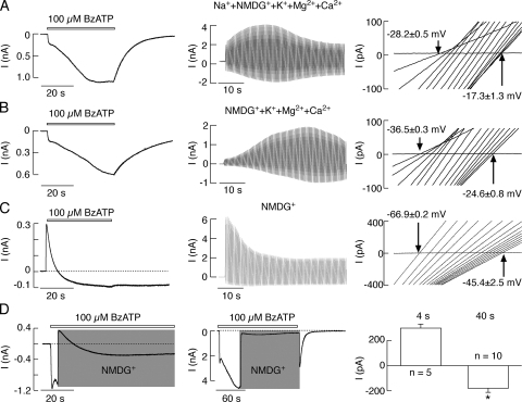 Permeability of P2X7R to NMDG+ depends on duration of agonist application. (A) Pattern of 100 μM BzATP-induced current and reversal potential in cells bathed in 10% Na+ and 90% NMDG+-containing KR buffer during the initial agonist application. (A, left) Current recording during a 40-s agonist application at −60 mV holding potential. (Middle) Time course of agonist-induced currents in cells under the ramp protocol. (Right) Positive shift in reversal potential observed during the initial 40-s application of BzATP; 0.485-s voltage ramps were delivered twice per second. (B) Patterns of BzATP-induced currents (left and middle) and shift in the reversal potential (right) in cells bathed in KR buffer, in which Na+ was completely substituted with NMDG+. (C) Time course of BzATP-induced P2X7R current in cells bathed in NMDG+ buffer (left and middle) and the accompanied changes in the reversal potential (right). In this and all figures, only 15 out of 100 traces for the current voltage relationship with the equal time intervals are shown. Notice the lack of receptor deactivation in C compared with records shown in A (left) and B (left). (D) Increase in NMDG+ permeability occurs in cells bathed in physiological solution for agonist application of >∼10 s. Application of agonist was initially performed in cells bathed in KR buffer for 4 (left) and 40 s (middle) and was continued in NMDG+ medium (gray areas). Notice a difference in responses when replacement of KR buffer with NMDG+ buffer was performed during the phase I (left) and II (middle) of current growth. Right panel illustrates the mean ± SEM values of the peak currents reached after replacement of KR buffer with NMDG+ buffer in two time points. All experiments were performed in HEK293 cells.