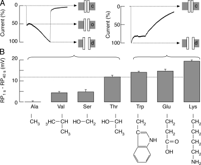 Effects of Thr15 substitution on the pattern of current and permeability to NMDG+ schematic models. (A) Two patterns of currents: biphasic (left) and high amplitude monophasic (right). The biphasic response reflects three steps in gating: closed (c), opened (o), and dilated (d), and is observed in cells expressing WT receptors and T15A, T15V, and T15S mutants. The high amplitude monophasic response reflects instantaneous transition from the closed to the dilated stage, and is observed in cells expressing T15W, T15E, and T15K mutants. (B) A shift in the reversal potential (RP) for WT and mutant receptors during sustained agonist application. Mean values for the reversal potential at the end of a 40-s recording for WT and six T15 mutant receptors were subtracted from the initial reversal potential value for the WT receptor (−36.5 mV; Table I, NMDG+-KR column). The side chains of amino acid residues used in substitution studies are shown at the bottom.