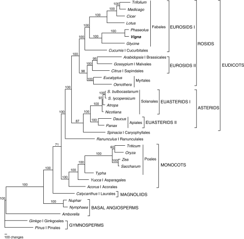 The MP phylogenetic tree is based on 25 protein-coding genes from 34 plant taxa. The MP tree has a length of 29 081 with a consistency index of 0.4939 and a retention index of 0.6399. Numbers above node are bootstrap support values. Ordinal and higher level group names are also indicated. The ML tree has the same topology but is not shown.