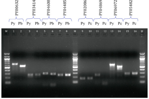 PCR screening of a random sample of newly discovered genes. Screenings were performed pair-wise with the PCR products of the species containing the known gene of interest loaded in odd-numbered wells while the corresponding PCR screen of the other species whereby sequence is absent or the gene is not predicted are in the even-numbered wells. The Genbank accession numbers of these novel orthologs are indicated in parentheses in the following description. (1&2): PY00632 screen with Py and Pb gDNA (GU390534); (3&4): PY03414 screen with Py and Pb gDNA (GU390535); (5&6): PY04600 screen with Py and Pb gDNA (GU390540); (7&8): PY04485 screen with Py and Pb gDNA (GU390538); (9&10): PY02086 screen with Py and Pc gDNA (GU390539); (11&12): PY04869 with Py and Pc gDNA; (13&14): PY06972 screen with Py and Pc gDNA (GU390536); (15&16): PY05482 screen with Py and Pc gDNA (GU390537). (Legend: M = 100 bp DNA ladder)