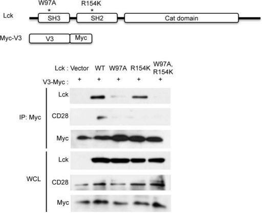 Interaction between CD28 and the V3 of PKCθ is Lck-dependent. PKC-θ-Lck-CD28 association in Lck-deficient (JCam1.6) Jurkat cells cotransfected with Myc-tagged PKCθ-V3 plus WT Lck or its indicated mutants, Transfected cells were stimulated with anti-CD3 and anti-CD28 for 5 min, immunoprecipitated with an anti-Myc Ab, and immunoblotted for Lck and endogenous CD28. Data are from three experiments.