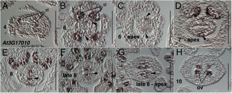 Results of in situ hybridization with AT3G17010 (REM22) antisense probe.Numbers indicate floral stages. All panels show transverse (cross sectional) tissue orientation. Arrowheads indicate medial domain expression; ov - ovule; st- stamen primordia. Scale bars in all panels are 100 microns. All panels are Col-0 wild type tissue. Oblique section in panel B skews apparent location of medial domain slightly.