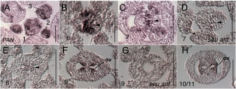 Results of in situ hybridization with PAN antisense probe.Numbers indicate floral stages. All panels show transverse (cross sectional) tissue orientation. Arrowheads indicate medial domain expression. ov - ovule; Scale bars in all panels are 100 microns, except for panel B - scale bar is 50 microns. All panels are Col-0 wild type tissue except as otherwise noted.