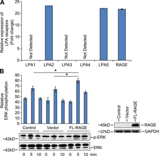 RAGE activates ERK in RH-7777 in rat hepatoma cells. (A) Real-time PCR for LPA receptors 1–5 and RAGE mRNA transcripts was performed in RH-7777 cells and normalized to 18s transcript levels. The graphs show relative fold of LPA receptor transcripts in RH-7777 cells. Assays were performed in triplicate and results shown are representative of two independent experiments. (B) Quantified levels of phosphorylated/total ERK are shown in RH-7777 rat hepatoma cells transfected with control vector, full-length RAGE, and upon 10 µM LPA stimulation at the indicated times. Representative results from triplicate experiments and at least two independent experiments are shown. *, P < 0.05. Error bars represent SD.