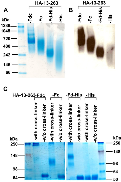Detection of conformation of HA-13–263 proteins by native PAGE (N-PAGE) and cross-linker analysis.(A) N-PAGE analysis of expressed HA-13–263 proteins, followed by Coomassie Blue staining and Western blot (B), by using a HA1-specific mAb. The native protein molecular weight marker (kDa) (Invitrogen) is indicated on the left. (C) Cross-linker analysis followed by SDS-PAGE and Coomassie Blue staining of expressed HA-13–263 proteins (with cross-linker). The proteins without cross-linking (w/o cross-linker) were used as the controls. The protein molecular weight marker (kDa) (Invitrogen) is indicated on the left.