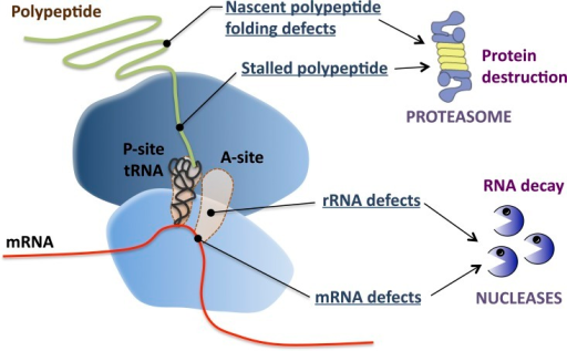 Multiple cotranslational quality control (QC) pathways monitor the translation process. QC pathways cotranslationally detect and degrade defective nascent polypeptides, ribosomes, and mRNAs.