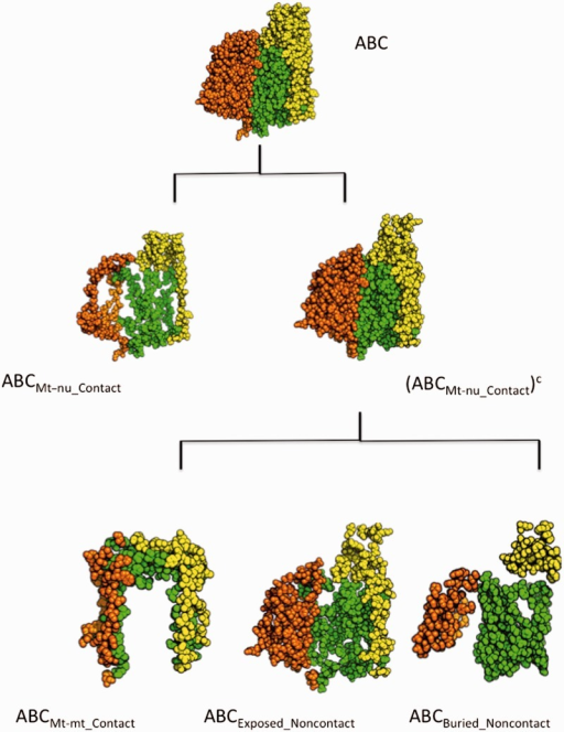 Structural view of mitochondrially encoded COX residues. COX core, consisting of COX subunits I (chain A in green), II (chain B in yellow), and III (chain C in orange) is shown at the top of the figure. The spatial distribution of those residues in close contact with nDNA-encoded subunits (ABCMt-nu_Contact) is also shown. The set formed by mtDNA-encoded residues that are not in contact with nDNA-encoded subunits, (ABCMt-nu_Contact)c, was partitioned into three disjoint subsets: ABCMt-mt_Contact, which is formed by those residues contacting only with other mtDNA-encoded residues; ABCExposed_Noncontact, encompassing residues accessible to the solvent that are not involved in intersubunit contacts; and ABCBuried_Noncontact, which contains all those residues that being buried inside the protein are not available for intersubunit contacts. The spatial distributions of the residues belonging to each of these subsets are shown at the bottom of the figure.