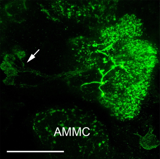 FMRFamide immunoreactivity in the AL of a female Ae. aegypti. Maximum projection of 37 optical sections showing a frontal image of an AL, where FMRFamide immunoreactivity is observed in all AL glomeruli. In addition, thick varicose FMRFamide-immunoreactive fibers of an extrinsic neuron are visible at the center of the AL neuropil. The arrow indicates the FMRFamide-immunoreactive cell bodies in the lateral cell cluster. AMMC: antennal motor and mechanosensory center. Scale bar = 25 μm.