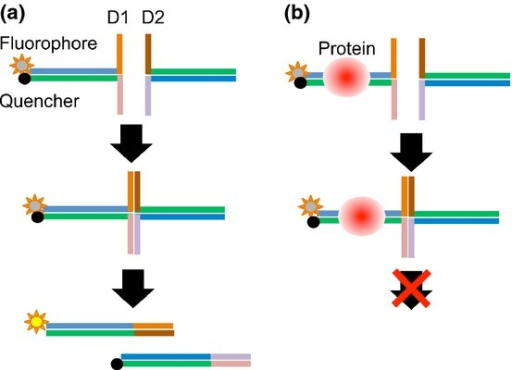 Principles of the DSE-FRET assay. (a) In the absence of target protein, strand exchange between D1 and D2 will occur and fluorescence will be elevated. (b) In the presence of target protein, strand exchange will not occur and fluorescence will remain quenched.