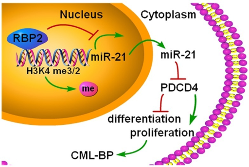 A summary of the findingsA new epigenetic mechanism involved in the pathogenesis of CML-BP: by binding to promoter and demethylation of trimethylated H3K4 at the miR-21 locus, RBP2 downregulates miR-21 expression, which in turn activates PDCD4. In CML progression, low levels of RBP2 cannot repress the expression of miR-21, which decreases PDCD4 expression to block cell differentiation and stimulate cell proliferation.