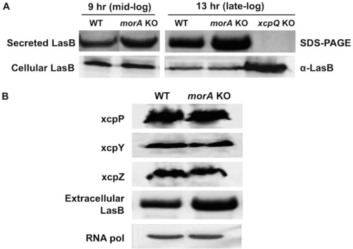 (A) MorA does not affect cellular levels of LasB. Top panel- Extracellular LasB from WT and morA KO culture supernatants at mid log and late log phases (SDS-PAGE). XcpQ mutant lacks functional T2SS and does not secrete any proteases; negative control. Bottom panel- LasB from cellular fractions of respective cultures immunoblotted using polyclonal antibody. Samples on both panels were loaded based on proteins from equal number of cells as described in methods. (B) Levels of T2SS machinery proteins remain unaltered. Immunoblots of the T2SS machinery component proteins from membrane fraction. Membrane proteins were loaded from equal number of bacterial cells. XcpY and XcpZ are inner membrane proteins while XcpP spans both the inner and outer membranes. Respective culture supernatants were loaded to compare secreted LasB levels. RNA pol- RNA polymerase from the cellular protein fraction was used as loading control.