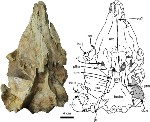 Ventral view of holotype skull of Nanokogia isthmia gen. et sp. nov. (UF 280000).Abbreviations: an, antorbital notch; bo/bs, basioccipital/basisphenoid; boc, basioccipital crest; cb.e, cerebral endocast; eam, external auditory meatus; fg, frontal groove; in, internal nares; jn, jugular notch; la+j, lacrimal + jugal; ma, mandible; mx, maxilla; npp, notch for posterior process of tympanic; oc, occipital condyles; pl, palatine; prs, presphenoid; ptdl, dorsal lamina of pterygoid; ptha, pterygoid hamulus; ptml, medial lamina of pterygoid; ptsf, pterygoid sinus fossa; tsr, tympanosquamosal recess; vif, ventral infraorbital foramen; vo, vomer. Gray shaded areas indicate sediment; diagonal lines denote broken surfaces.