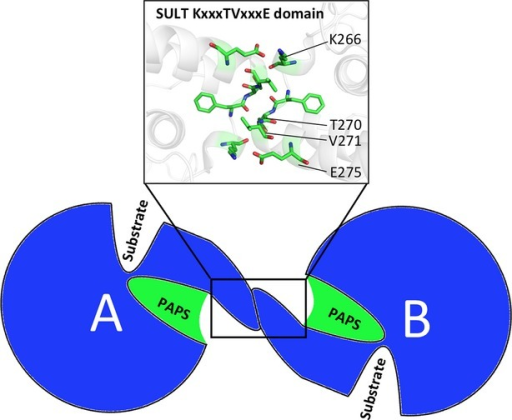 The relative locations of the dimerization domain and substrate-binding domains of SULTs. A cartoon illustration shows the PAPS-binding domain (green) of each dimer subunit (A and B) is near the dimer interface, with key residues KxxxTVxxxE forming antiparallel interactions.