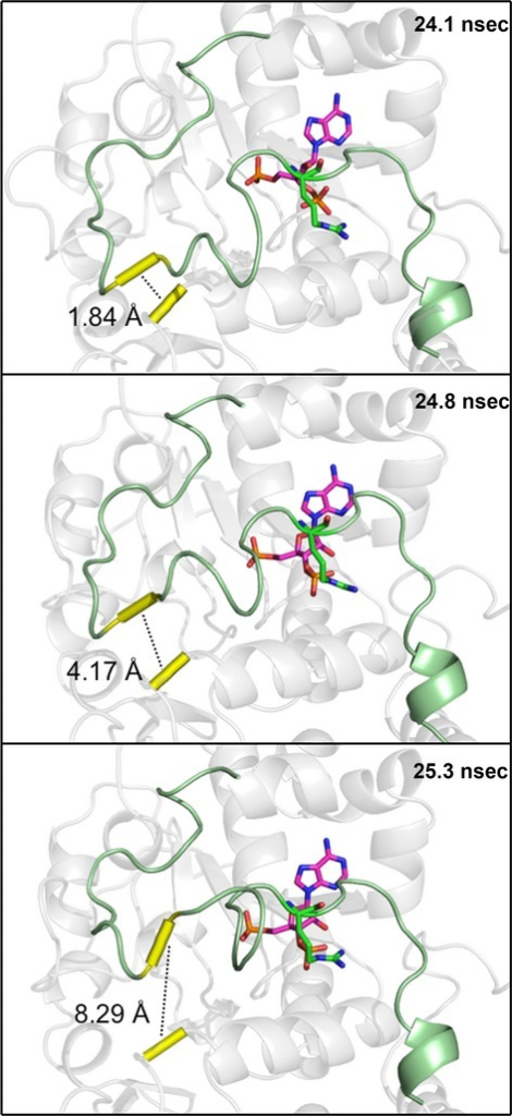 Visual indication of the broken hinge region. Shortly following a shift in the binding position of PAP (magenta sticks), a key hydrogen bond (dashed line) between Met146 and Asp250 (yellow tube) was broken, allowing Loop 3 (green) to be highly mobile. The shift in PAP appears to be translated to Loop 3 primarily by an interaction with a single residue (R258).