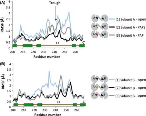 Effects of PAPS/PAP-binding on the mobility (RMSF) of amino acids 208–273, including Loop 3 (aa 235–268) and a portion of the dimerization domain (aa 266–275). (A) Subunit A of simulations [1], [2], and [3]. (B) Subunit B of simulations [1], [2], and [3]. A relatively high level of stability was observed for residue 250 across simulations (trough indicated by black arrow). The key indicates the PAP/PAPS-binding state of each subunit. A secondary structure map of the highlighted region is available toward the bottom of the graph (L3 = Loop 3, green cylinders = α-helix).