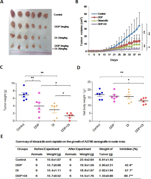Dinaciclib synergized with cisplatin to inhibit the subcutaneous xenograft growth of ovarian cancer in nude miceEach mouse was injected subcutaneously with A2780 cells (2 × 106 in 100 μl of medium) under the shoulder. When the subcutaneous tumors were approximately 0.3 × 0.3 cm2 (two perpendicular diameters) in size, mice were randomized into four groups, and were injected intraperitoneally with vehicle alone (20% hydroxypropyl-β-cyclodextrin), dinaciclib alone (25 mg/kg), cisplatin alone (2 mg/kg), or a combination of dinaciclib and cisplatin every four days. The body weights of mice and tumor volume were recorded. The mice were anaesthetized after experiment, and tumor tissue was excised from the mice and weighted. The original tumors (A), tumor volume (B), tumor weight (C), net body weight (without tumor) (D) and summary data (E) were shown. The values presented are the means ± SD for each group. DI: Dinaciclib; DDP: Cisplatin. *P < 0.05 and **P < 0.01 vs. corresponding control.
