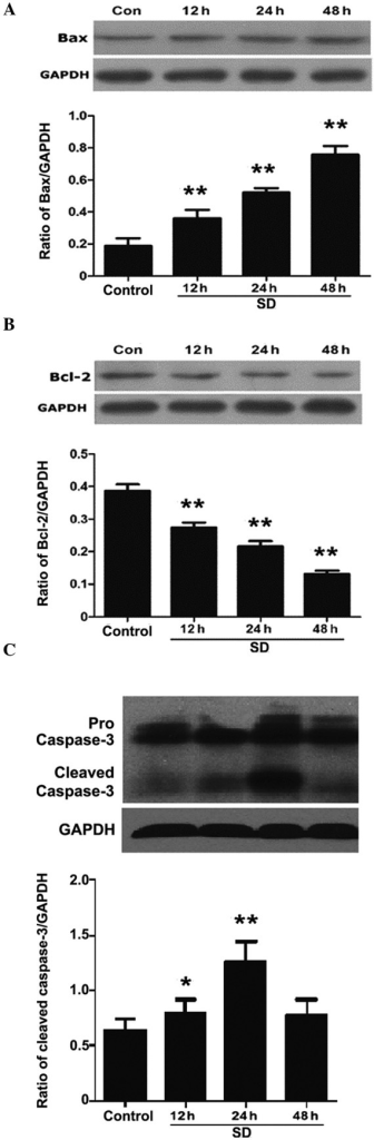 Protein expression levels of Bcl-2, Bax and caspase-3 in MSCs, as determined by western blotting following 12, 24 and 48 h of serum deprivation. Protein expression levels of (A) Bcl-2, (B) Bax and (C) cleaved caspase-3. GAPDH was used as a loading control, and the expression levels of the target proteins were determined relative to the levels of GAPDH. Blots shown are from ≥three independent experiments. The data are presented as the mean ± standard error (n=5). *P<0.05 and **P<0.01, as compared with the control group. MSCs, mesenchymal stem cells; Con, control; SD, serum deprived.