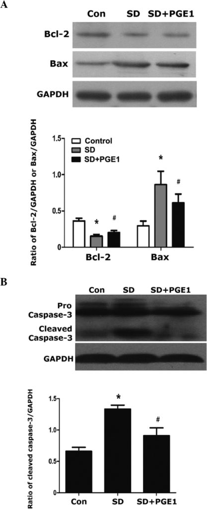 Western blot analysis of Bax, Bcl-2 and caspase-3 following 24 h of serum deprivation with or without PGE1 preconditioning. Control, untreated MSCs; SD, serum-deprived MSCs; SD+PGE1, serum-deprived MSCs cultured with 10 ng/ml PGE1. MSCs were cultured at 37°C in a humidified atmosphere containing 5% CO2. Protein expression levels of (A) Bax and Bcl-2, and (B) caspase-3. GAPDH was used as a loading control, and the expression levels of the target proteins were determined relative to the levels of GAPDH. Blots are shown from at least three independent experiments. The data are presented as the mean ± standard error (n=5). *P<0.01, as compared with the control group; #P<0.05, ##P<0.01, as compared with the SD group. MSC, mesenchymal stem cells; Con, control; SD, serum deprived; PGE1, prostaglandin E.